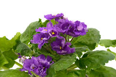 African Violet isolated on white background. Royalty Free Stock Images