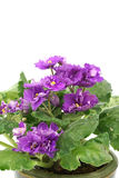African Violet isolated on white background Royalty Free Stock Photos