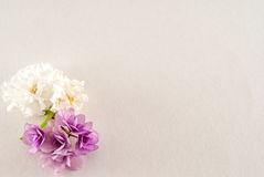 African violet isolated on a white background Royalty Free Stock Image