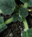 African Violet Leaves Royalty Free Stock Images
