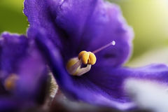 African Violet Macro Stock Photos
