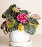 African Violet Royalty Free Stock Image