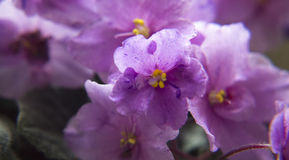 African violet. Pink flower of senpolia closeup. African violet stock photography