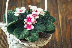 African violet. (pink and white saintpaulia ionantha) in white wicker basket on wooden background Stock Image