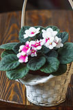 African violet. (pink and white saintpaulia ionantha) in white wicker basket on wooden background Royalty Free Stock Photos