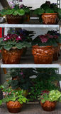 African Violet Plants. Potten plants in on cart shelves in a greenhouse Royalty Free Stock Photography