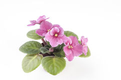 African violet plants over white background Royalty Free Stock Photo