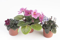 African violet plants over white background Royalty Free Stock Images