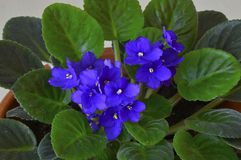 African violet in a pot Stock Photo