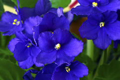African violet in a pot Royalty Free Stock Photography
