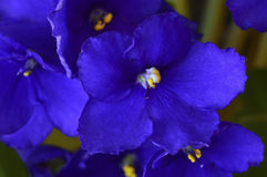 African violet in a pot Royalty Free Stock Photos