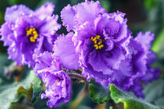African violet (purple saintpaulia ionantha) one of the world's most popular houseplants. Royalty Free Stock Image