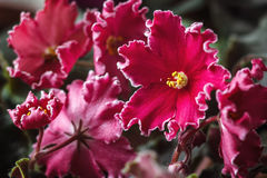 African violet (red saintpaulia ionantha) houseplant Royalty Free Stock Images