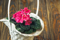 African violet. (red saintpaulia ionantha) in white wicker basket on wooden background Royalty Free Stock Photography