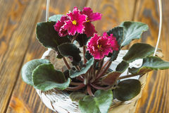 African violet. (red saintpaulia ionantha) in white wicker basket on wooden background Stock Photos