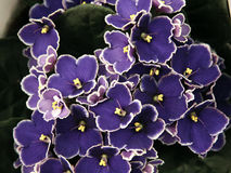 African violet-Saintpaulia. Close-up of a blue African violet royalty free stock images