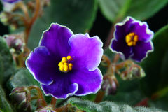 African violet (Saintpaulia) Stock Photo