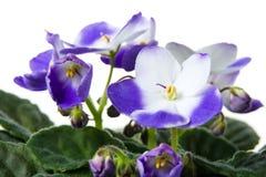 African violet. Saintpaulia. Stock Image