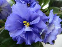 African violet  saintpaulia Royalty Free Stock Photos