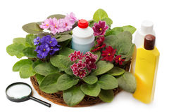 African violet saintpaulia chemical fertilizers, pesticides and Royalty Free Stock Photo