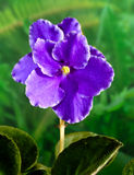 African Violet (Saintpaulia) flower Stock Photo