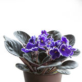 African Violet (Saintpaulia) flower Stock Photos