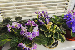 African violet, Saintpaulia flower on window sill. African Violet or Saintpaulia on the background of window with jalousie, shutter, houseplants. view from above Royalty Free Stock Image
