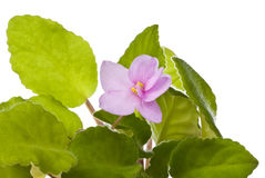 African violet - saintpaulia ionantha Stock Photos