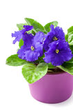African Violet (Saintpaulia ionantha) close-up isolated on white background Stock Photography