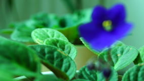 African Violet or Saintpaulia Ionantha.Saintpaulias, commonly known as African violets. stock footage