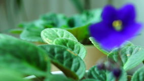 African Violet or Saintpaulia Ionantha stock video