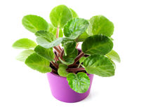 African Violet (Saintpaulia ionantha) young plant close-up isolated on white background Stock Photography