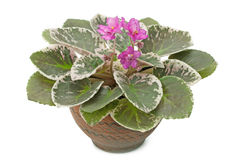 African Violet Saintpaulia Royalty Free Stock Photo