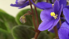 African Violet(Saintpaulia sp.) Flower Time-lapse stock video