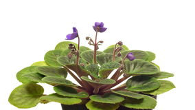 African Violet(Saintpaulia sp.) Flower Time-lapse stock footage