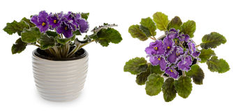 African violet (saintpolia) in decorative ceramic cache pot isolated. Stock Images
