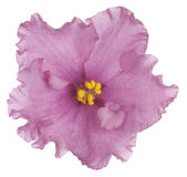 African violet Stock Images