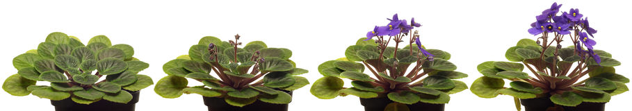 African Violet Time-lapse. Royalty Free Stock Image