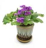 African Violet  on white background Stock Photos
