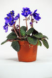 An African Violet  on White Stock Photography