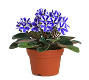 African Violets - Chimera Stock Images