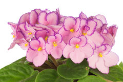 African Violets Stock Photography