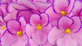 African Violets. Close up of pink colored African Violets flowers stock illustration
