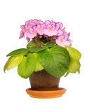 African Violets Royalty Free Stock Photography