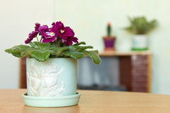 African violets in a home setting Royalty Free Stock Photo