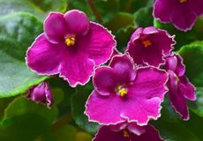 African violets royalty free stock photos
