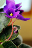 African Violets (saintpaulia). In purple with yellow stamens and pistils Royalty Free Stock Photos