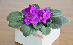 African violets (Saintpaulia ionantha) Stock Photography