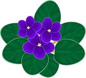 African violets (saintpaulia) Royalty Free Stock Photos