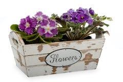 African violets (saintpolia) in decorative wooden box isolated. African violets (saintpolia) in decorative wooden box isolated on white royalty free stock image